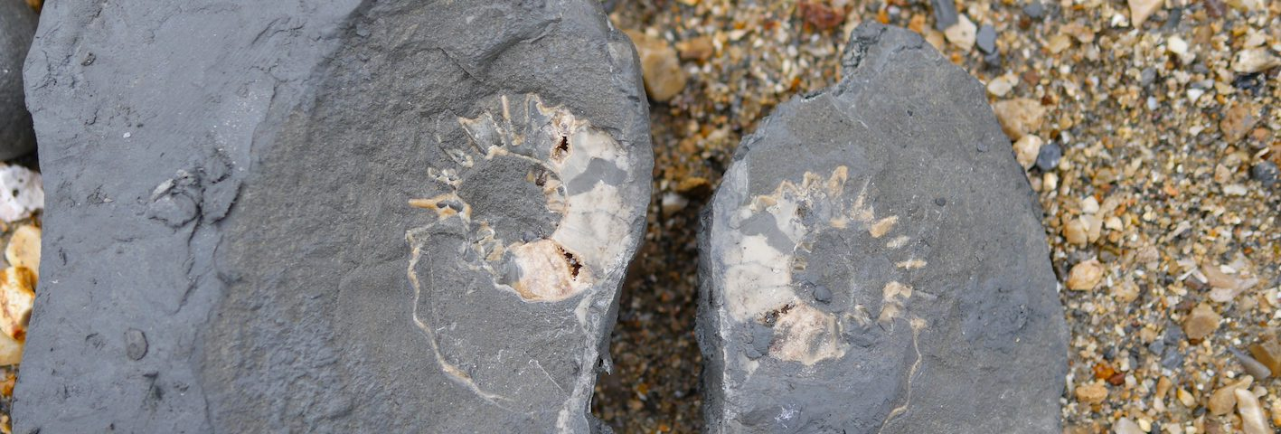 split ammonite charmouth beach