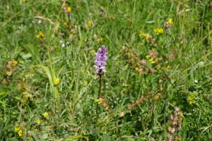 Common spotted orchid and yellow rattle