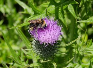 Field cuckoo bumblebee