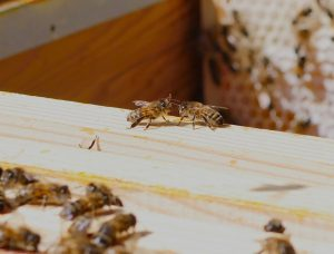 honeybees on hive