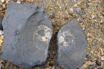 split ammonite charmouth beach