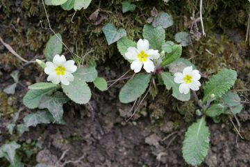 Blackbird hour, primroses
