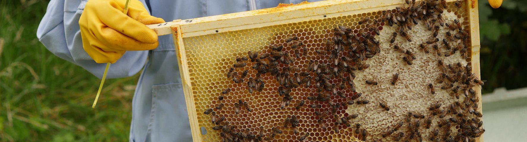 honeybees on a frame