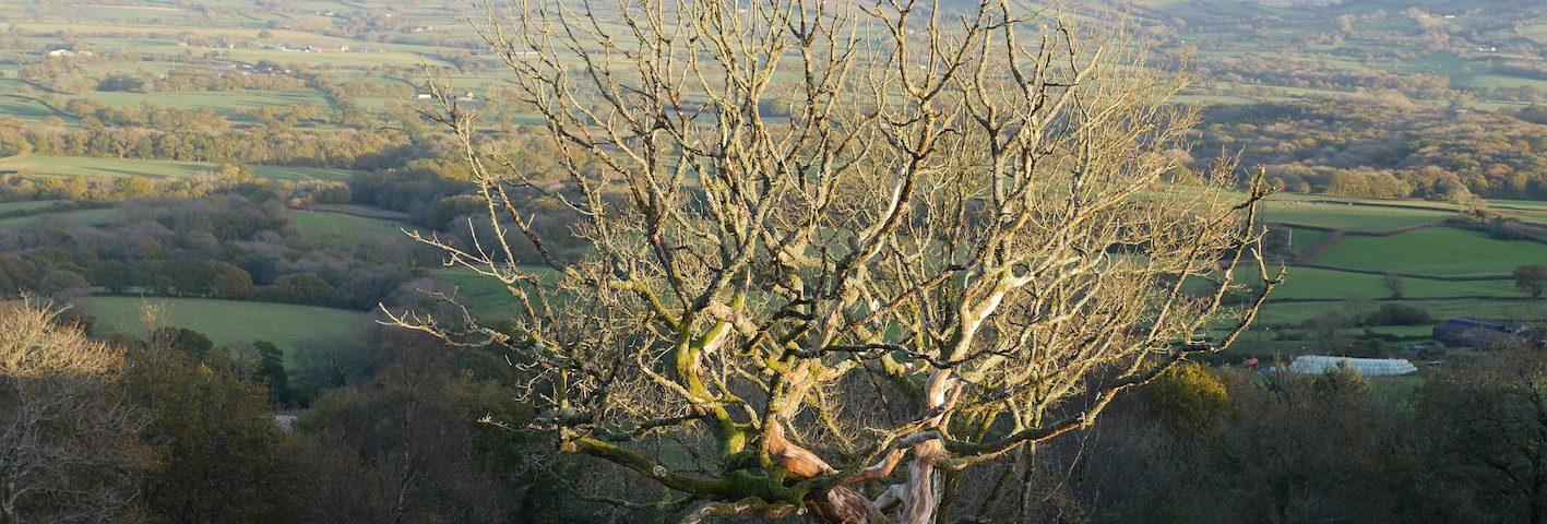 Lamberts Castle oak Dark Mountain