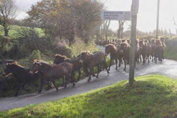 Tippbarlake herd Exmoor ponies coming into Brendon Barton farm