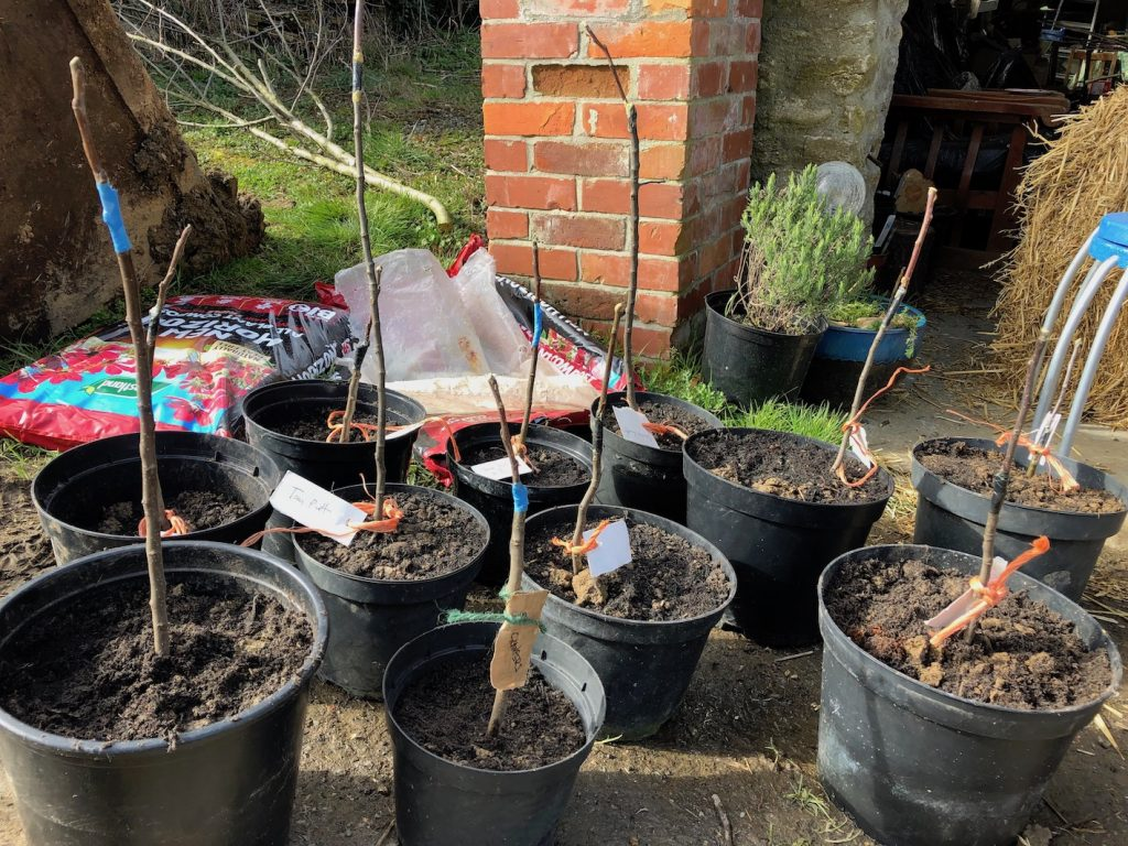 Newly grafted apple trees