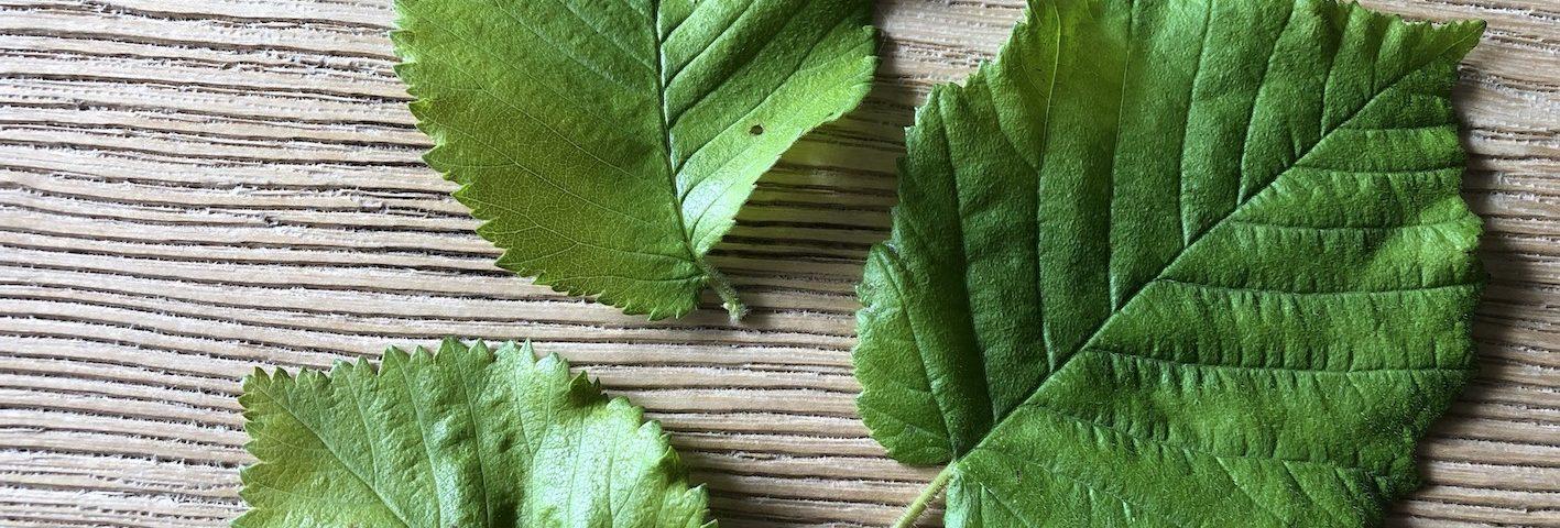 Elm leaves and hazel
