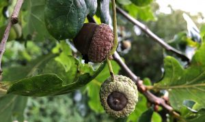 black acorns on tree