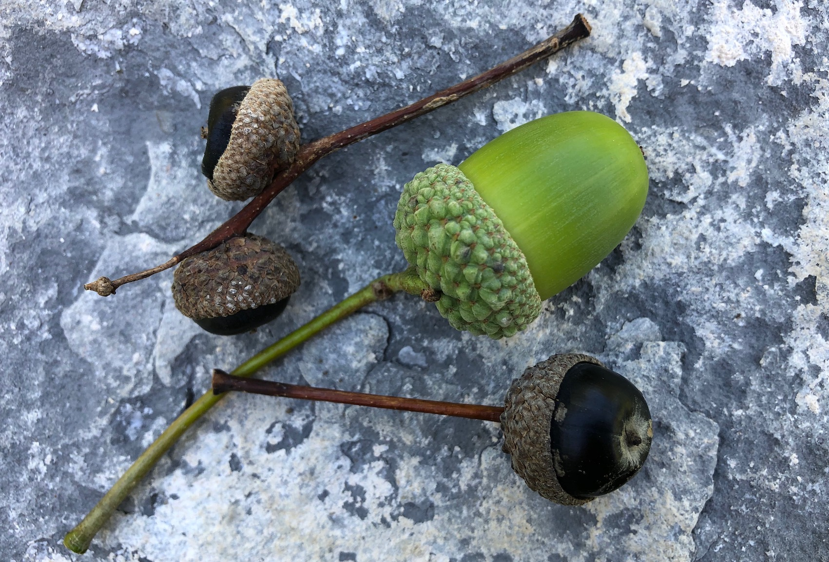black acorns