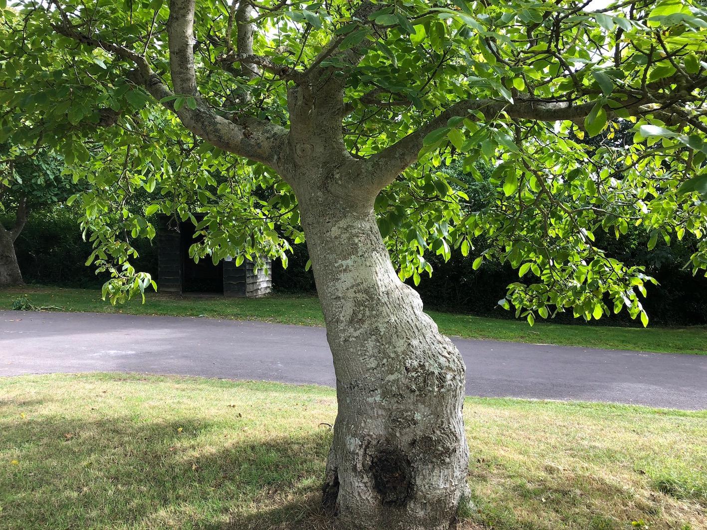 The wayside walnut trees of Porlock Vale