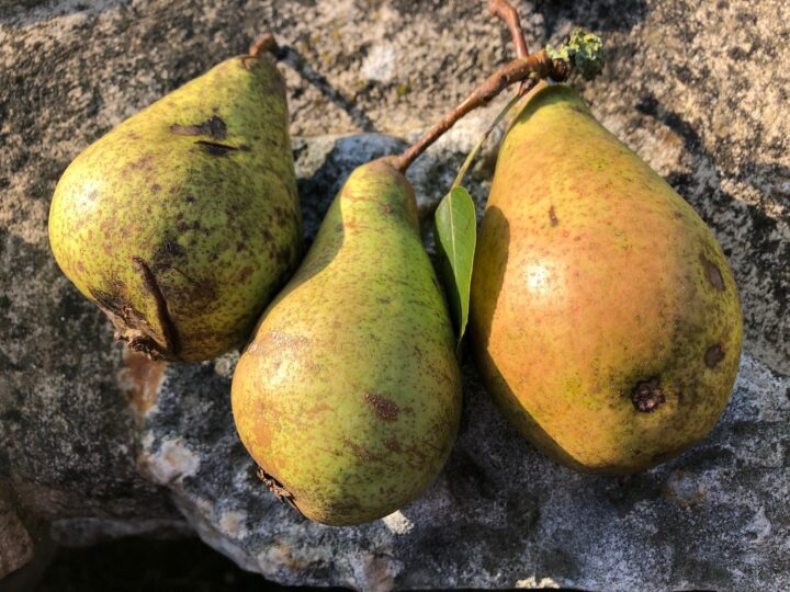A Devon pear tree ripe with mystery