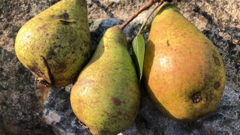 devon pear