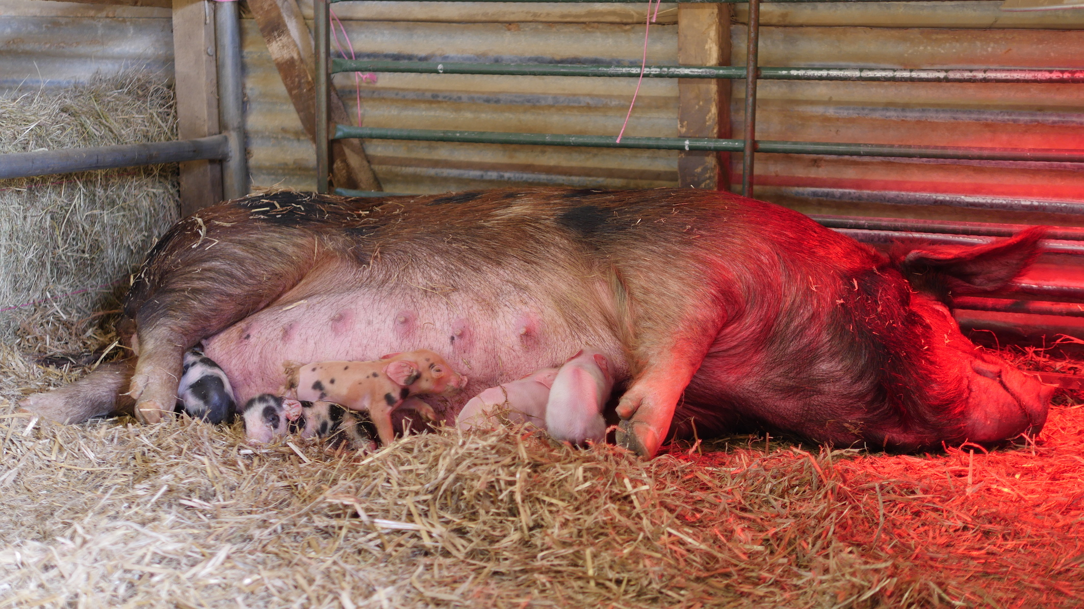 Little Ginge gives birth to 10 piglets